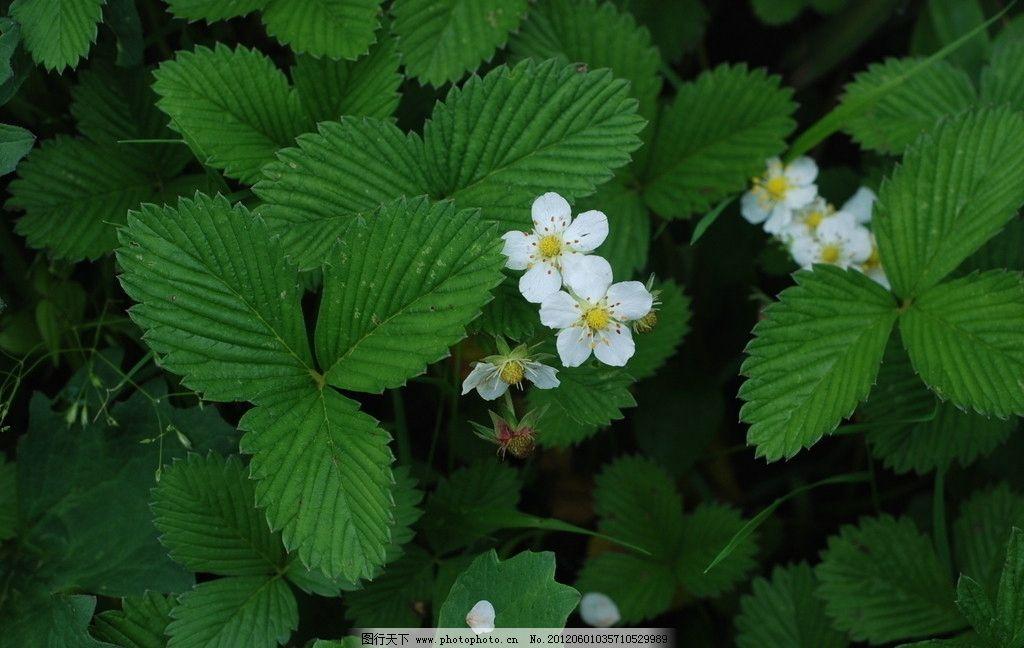 绿叶衬白花 小白花图片