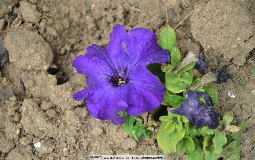 矮牵牛 花卉 碧冬茄 番薯花 花冠 漏斗状 单瓣 蓝紫色 花卉系列 花草