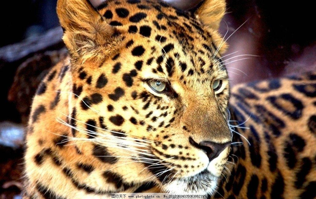 金钱豹 豹子 野生动物 生物世界 摄影 300dpi jpg