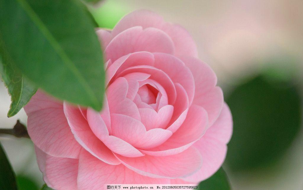 唯美粉色芙蓉摄影照片 花朵 盛开 意境 微距 高清 写真 壁纸