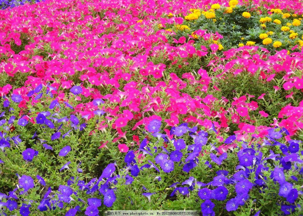 牵牛花 花朵 小花 花 底图 自然 春天 自然风景 旅游摄影 摄影 花草