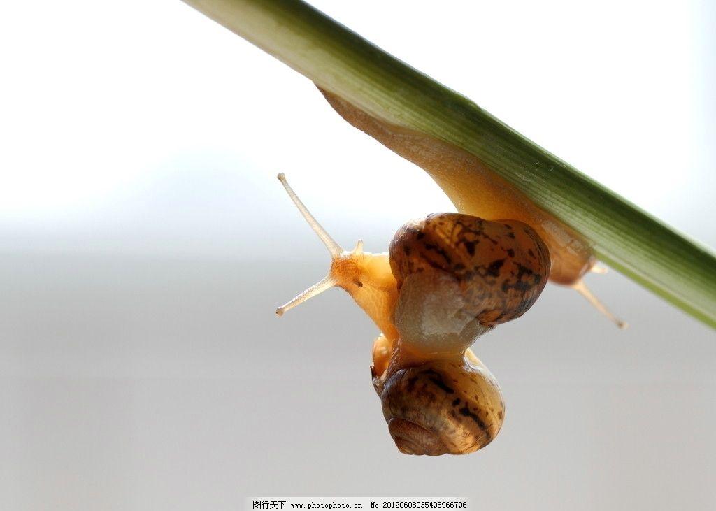 蜗牛 自然界 生物 生态 动物 昆虫 软件动物 有壳类动物 微距摄影