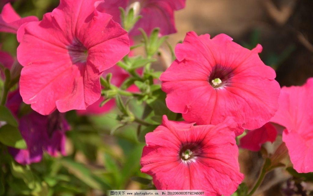 矮牵牛 花卉 碧冬茄 番薯花 花单生 花冠 漏斗状 单瓣 红色 花卉系列