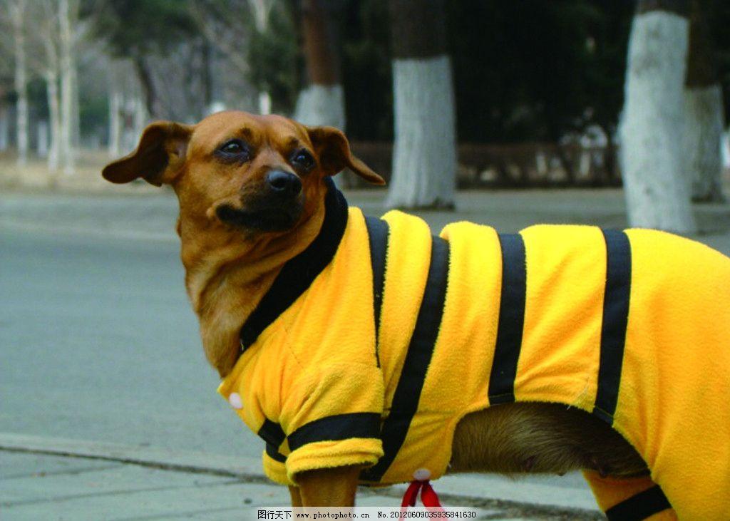 穿衣服的小狗 狗狗 小狗 耷啦 扭头 回眸 宠物 写真 可爱 听话 小动物