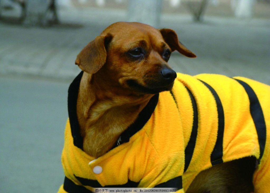 穿衣服的小狗 狗狗 小狗 耷啦 扭头 回眸 宠物 可爱 听话 小动物 家禽