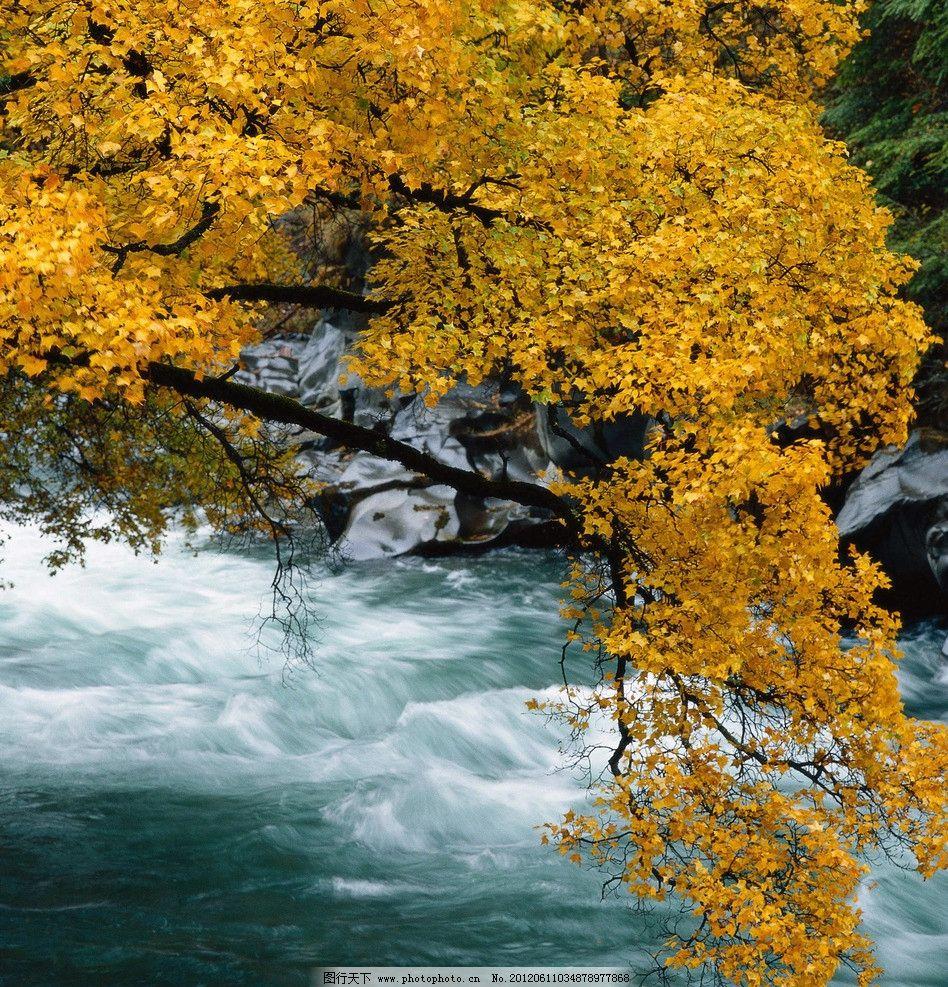 枫树 摄影图库 自然景观 自然风景 高清摄影 山水风景 黄色树叶 高山