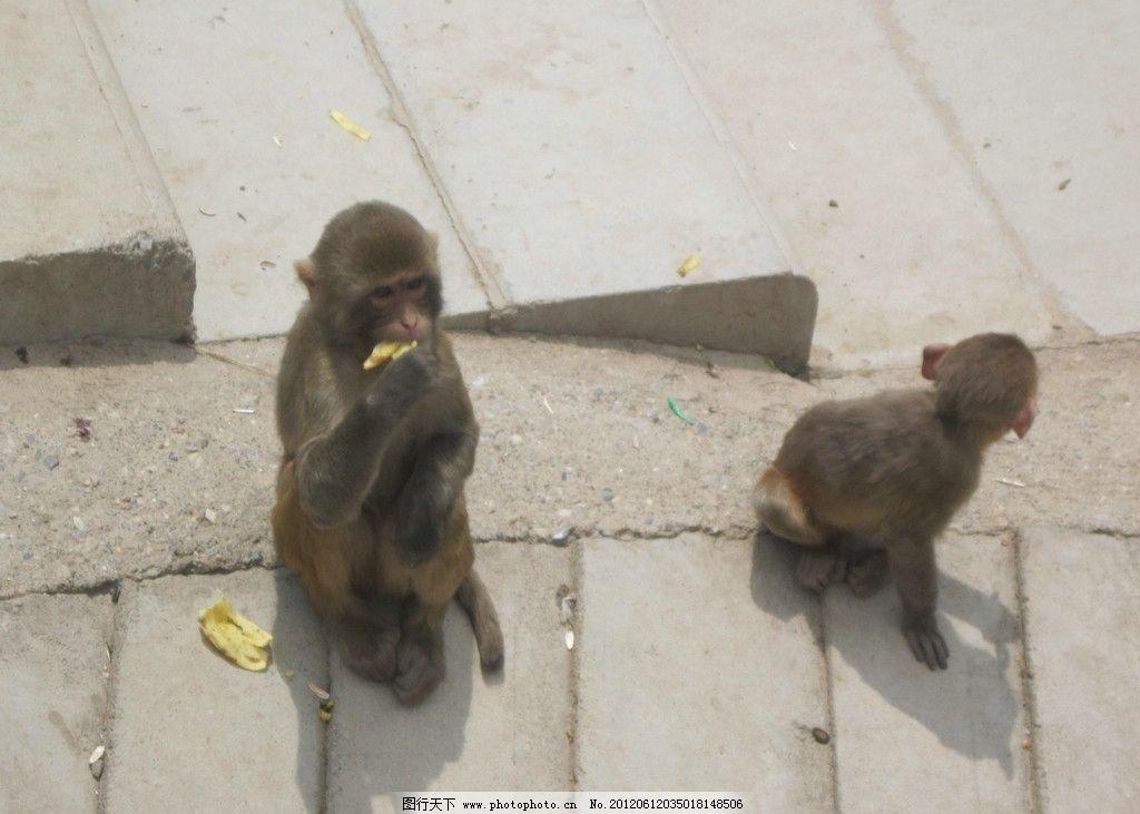 猴子 青海西宁青藏高原野生动物园 猴子吃香蕉 野生动物 生物世界