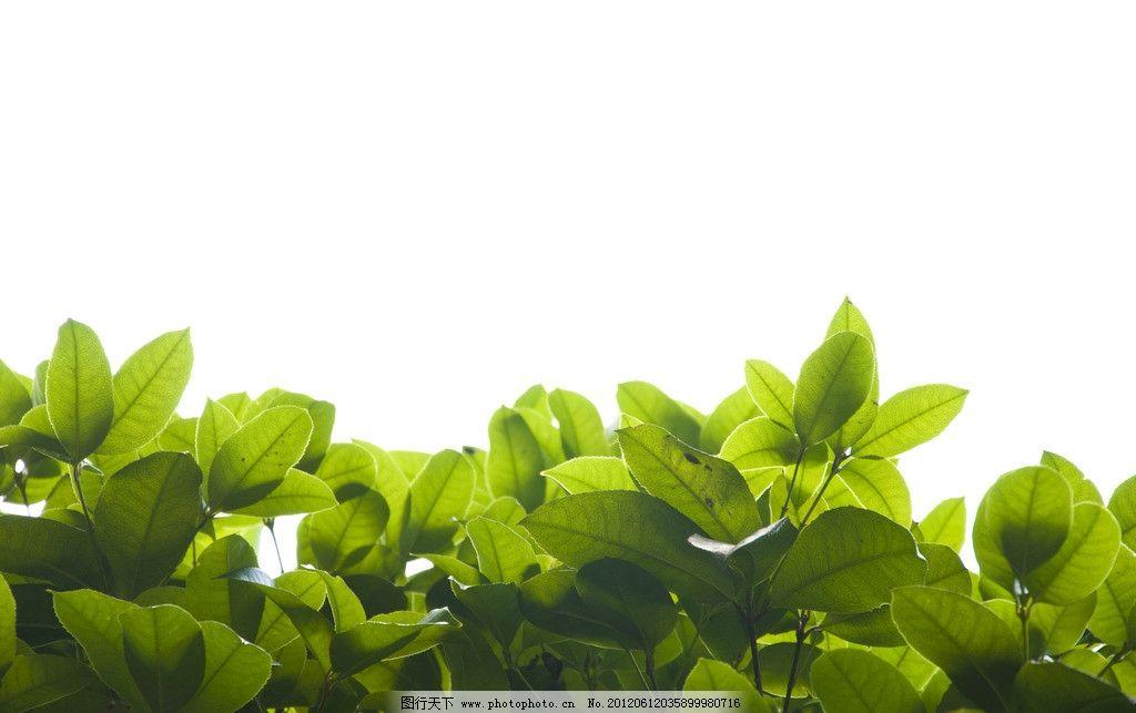 树叶 叶子 逆光 清新 自然 树木 植物 清凉 夏天 夏日 绿色 树木树叶