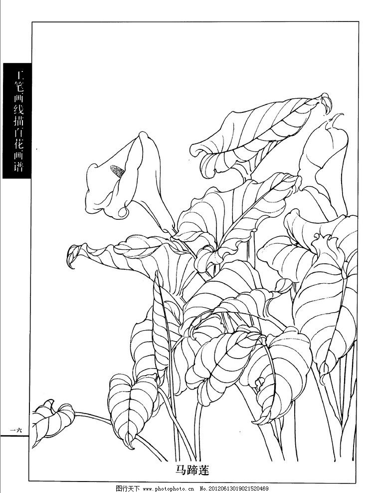 马蹄莲 工笔画 线描百花 画谱 春夏篇 白描 唯美 工笔白描花鸟图谱