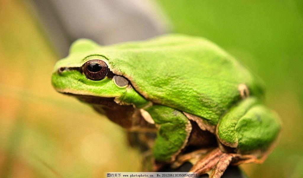 树蛙 高清树蛙 蛙科 爬行动物 无尾目 青蛙 野生 生物 野生动物
