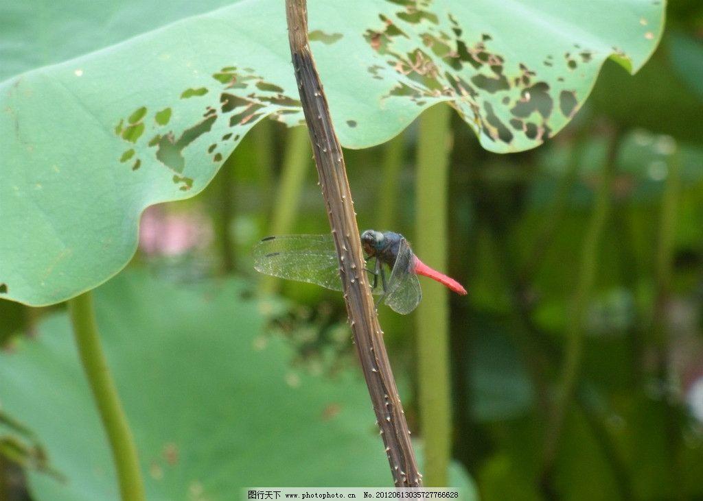 蜻蜓 荷叶 绿色 植物 荷花池 深圳洪湖公园 花草 生物世界 摄影 96dpi