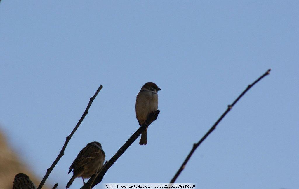 凝神中的小鸟 树枝 蓝天 凝望中的小鸟 鸟类 生物世界 摄影