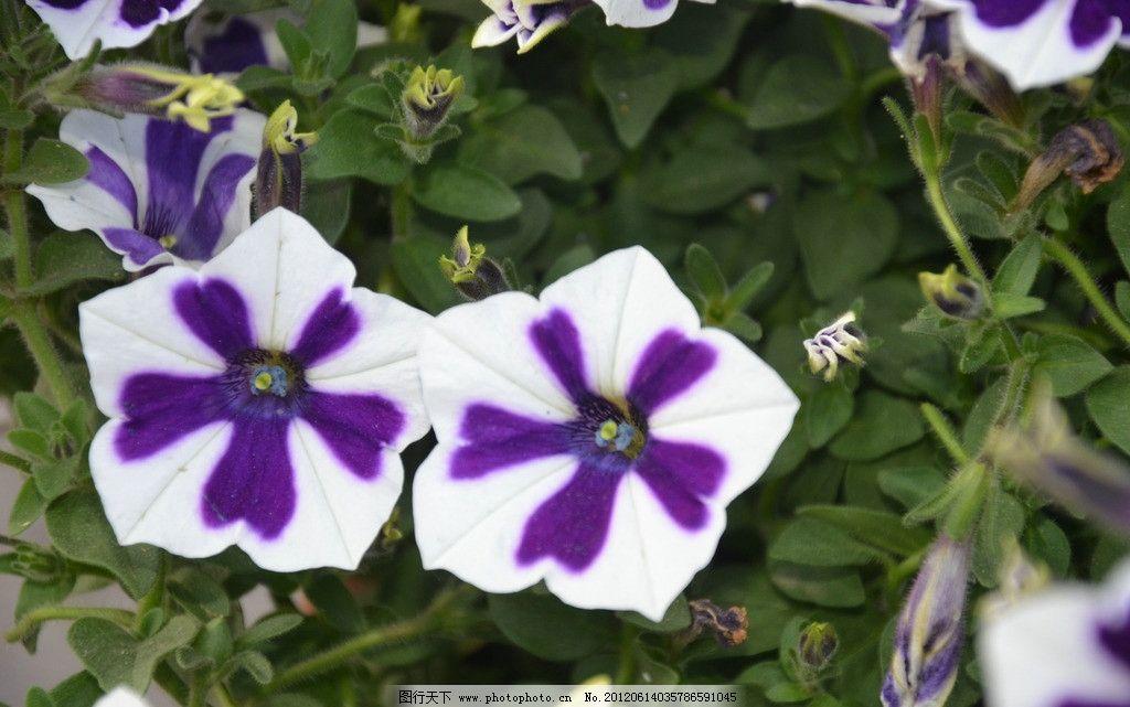 矮牵牛 花卉 碧冬茄 番薯花 花单生 花冠 漏斗状 单瓣 白色 紫花纹