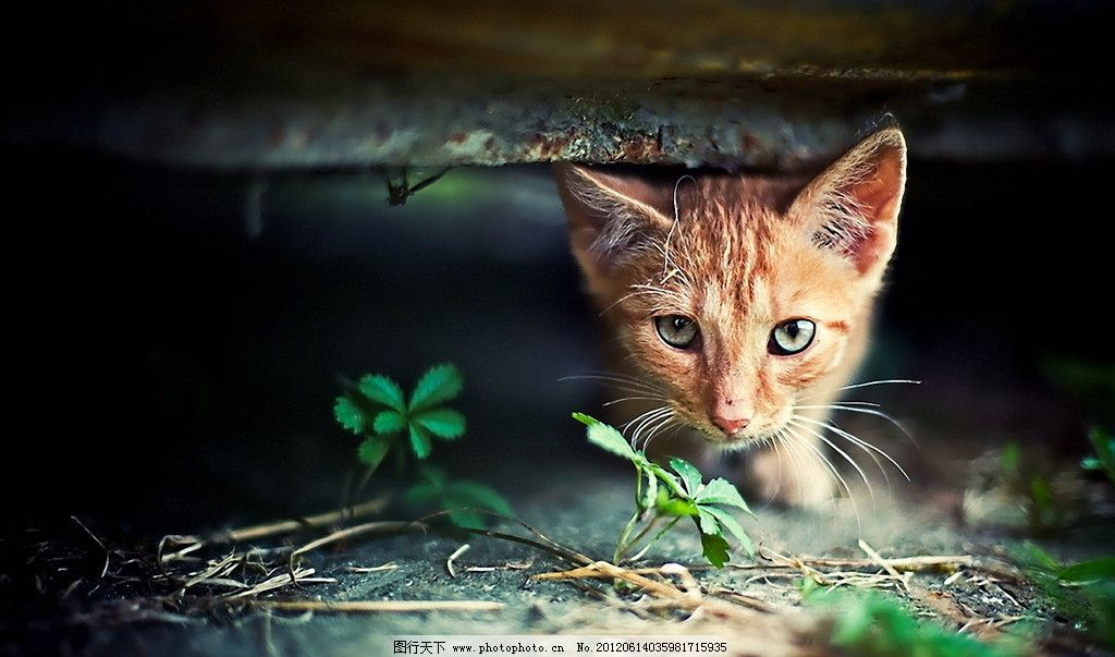猫咪 可爱 宠物 草丛 蜗居 厌恨 耳朵 眼神 迷茫 老鼠 天地 杂物 家禽