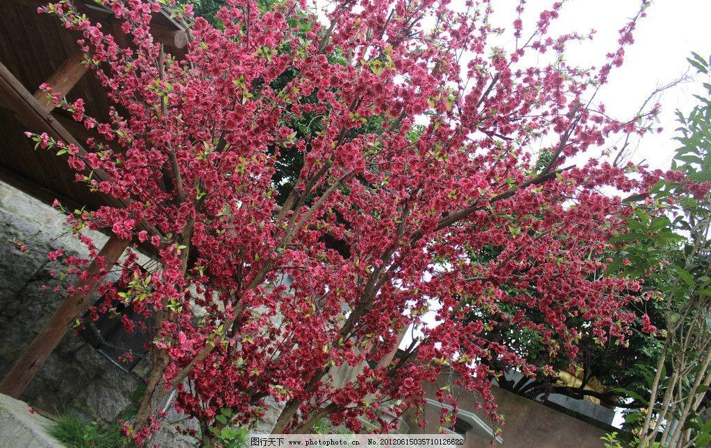 红艳艳 一树红花