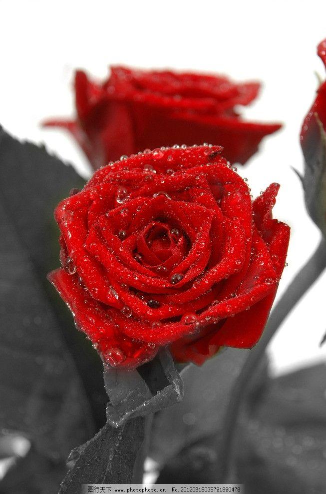 红玫瑰 水珠 花朵 玫瑰花 高清 红色 绿叶 花草 生物世界 摄影 300dpi图片