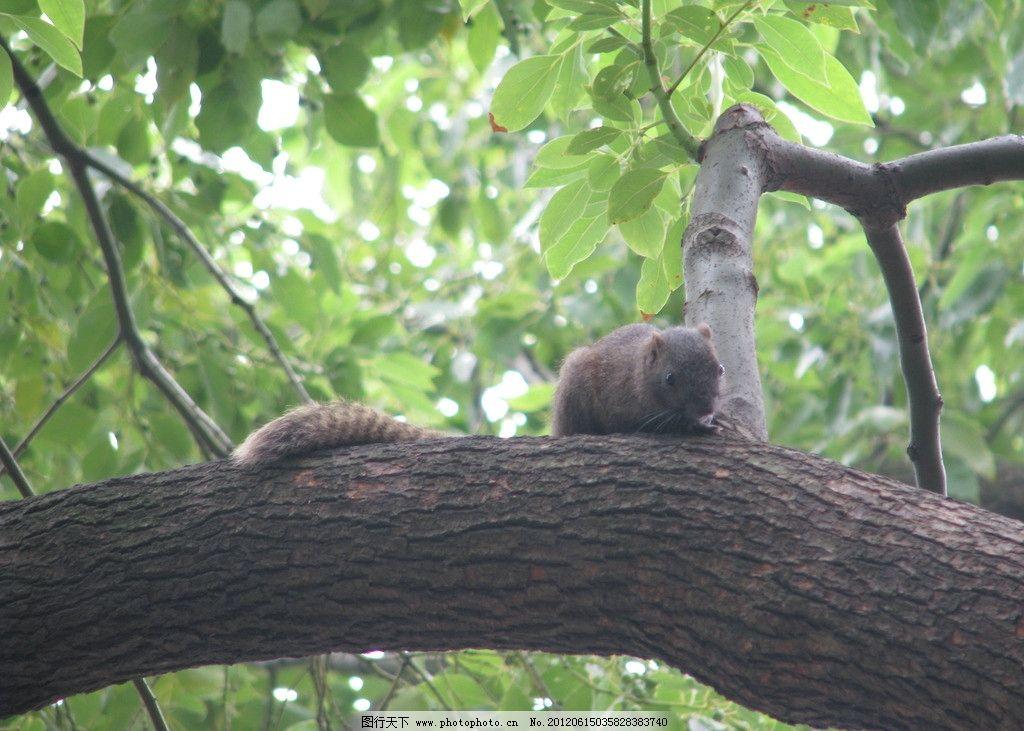 树干松鼠 松鼠 树干 树叶 绿树 大树 动物 树木树叶 生物世界 摄影