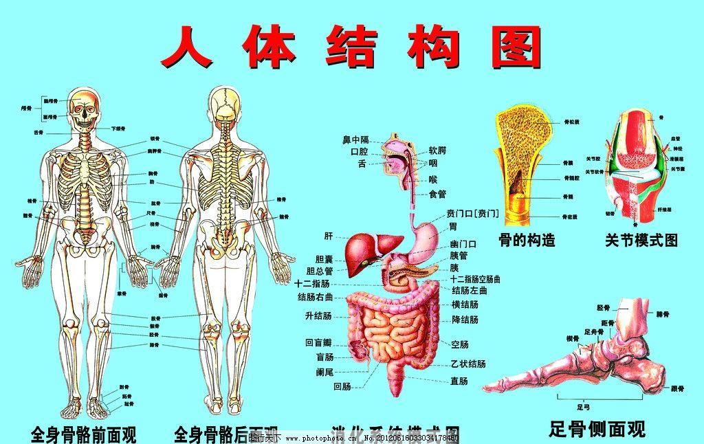 人体结构图 骨骼 剖析图 全身骨骼前后观 消化系统模式图 足骨侧面图