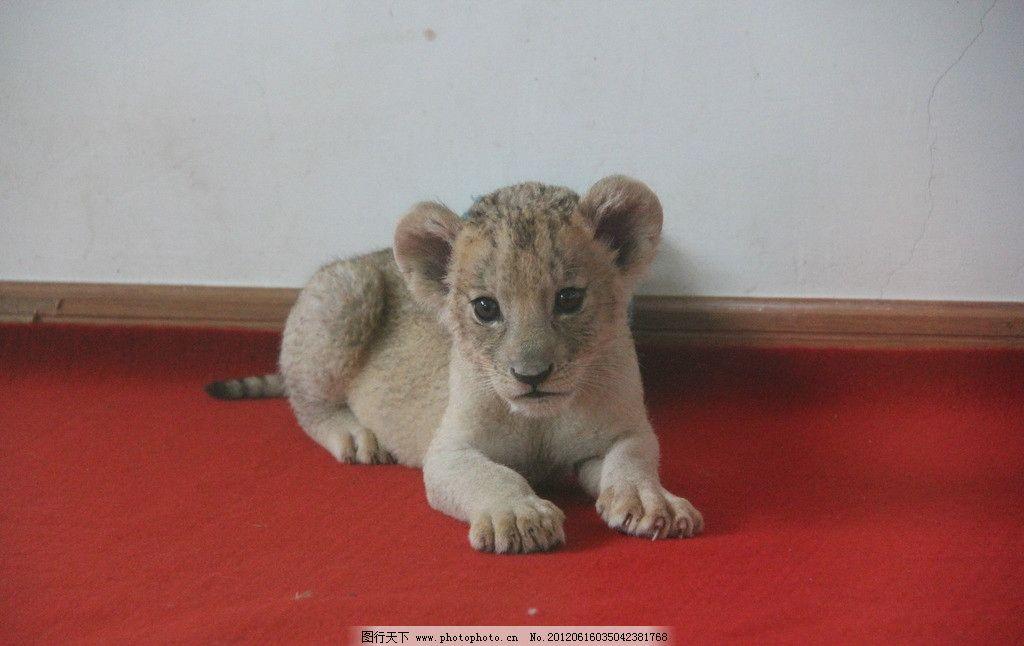 小非洲狮 非洲狮 宝宝 野生动物 生物世界 摄影 72dpi jpg