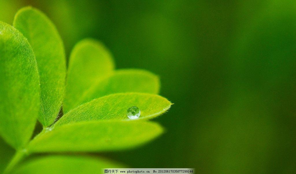 清新 水珠 嫩叶 嫩芽 树叶 新叶 绿色背景 树芽 绿枝 植物图片