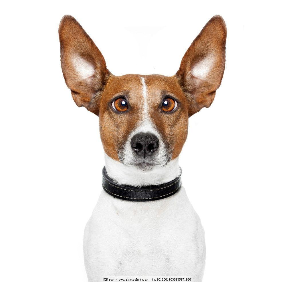 宠物狗 小狗 宠物 可爱 家禽家畜 生物世界 摄影 300dpi jpg