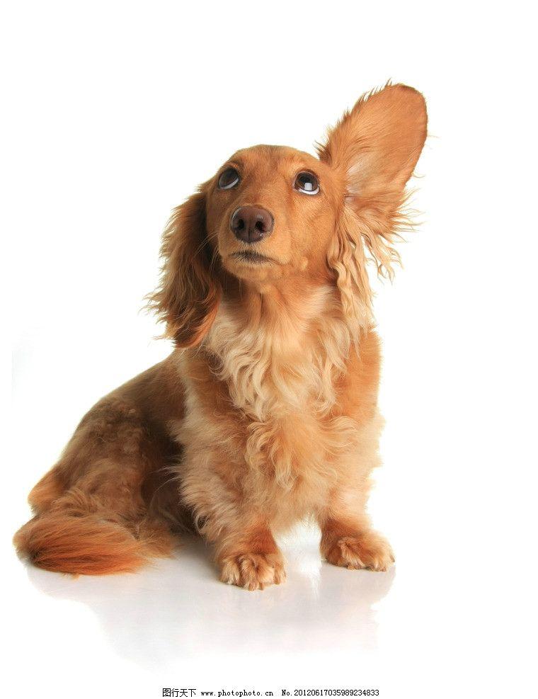 耷拉耳朵的小狗图片