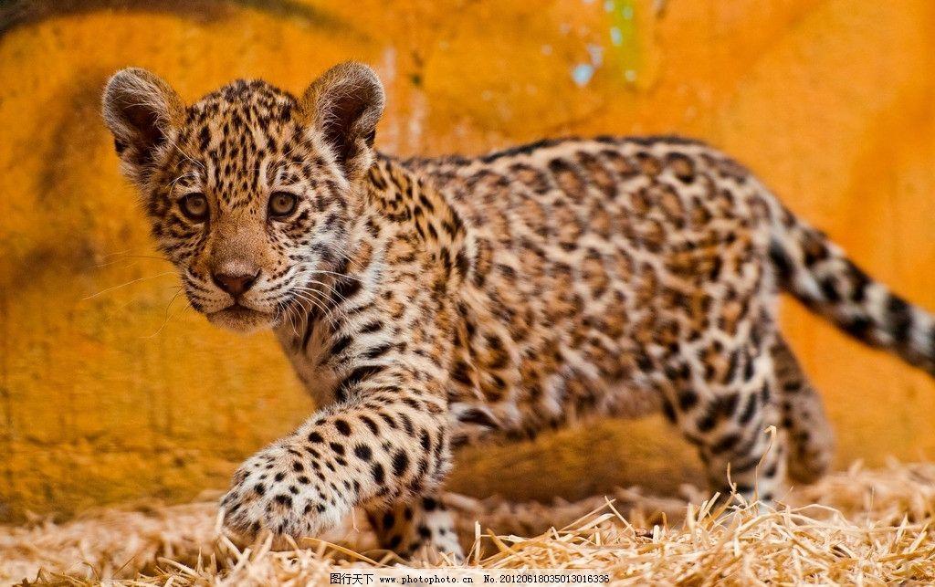 豹子 小豹 豹纹 可爱 野生 动物 野生动物 生物世界 摄影 240dpi jpg