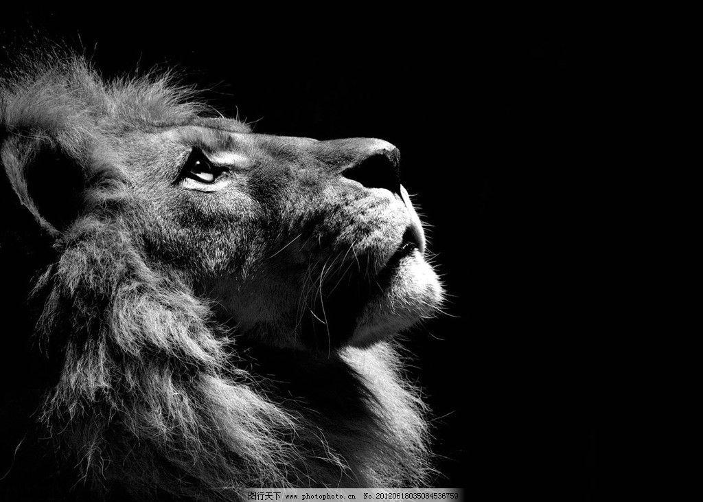 狮子 黑白 野生动物 生物世界 摄影 72dpi jpg