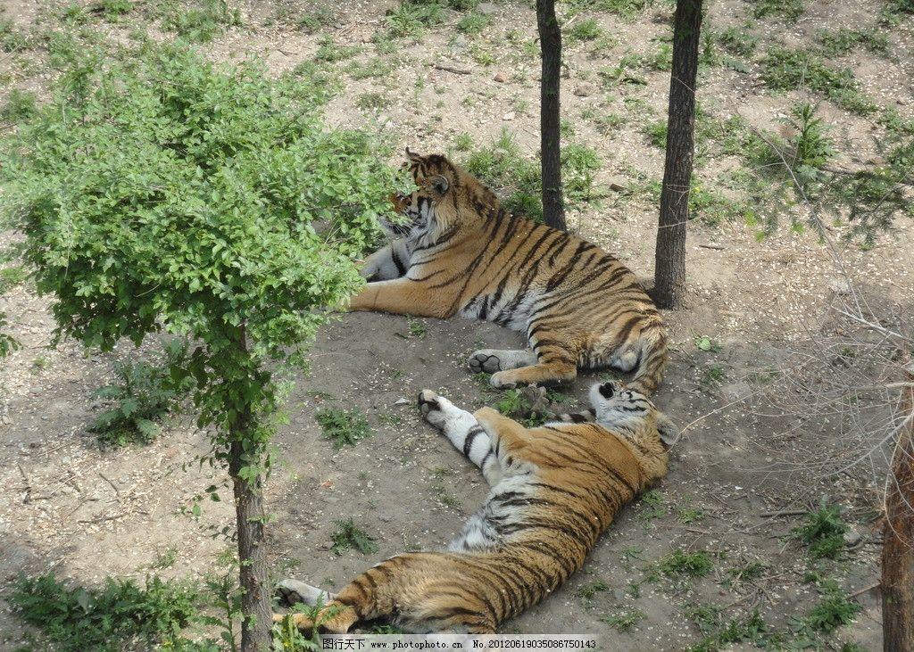 动物园 老虎 野生动物 猛兽 生物世界 摄影 72dpi jpg