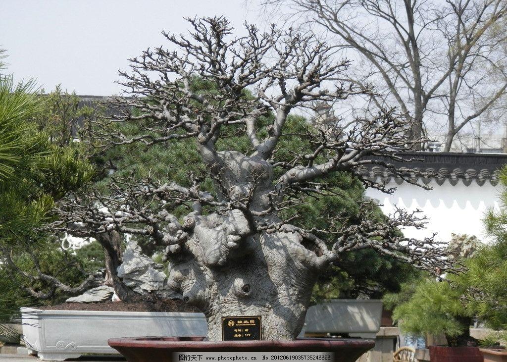 榆树盆景图片