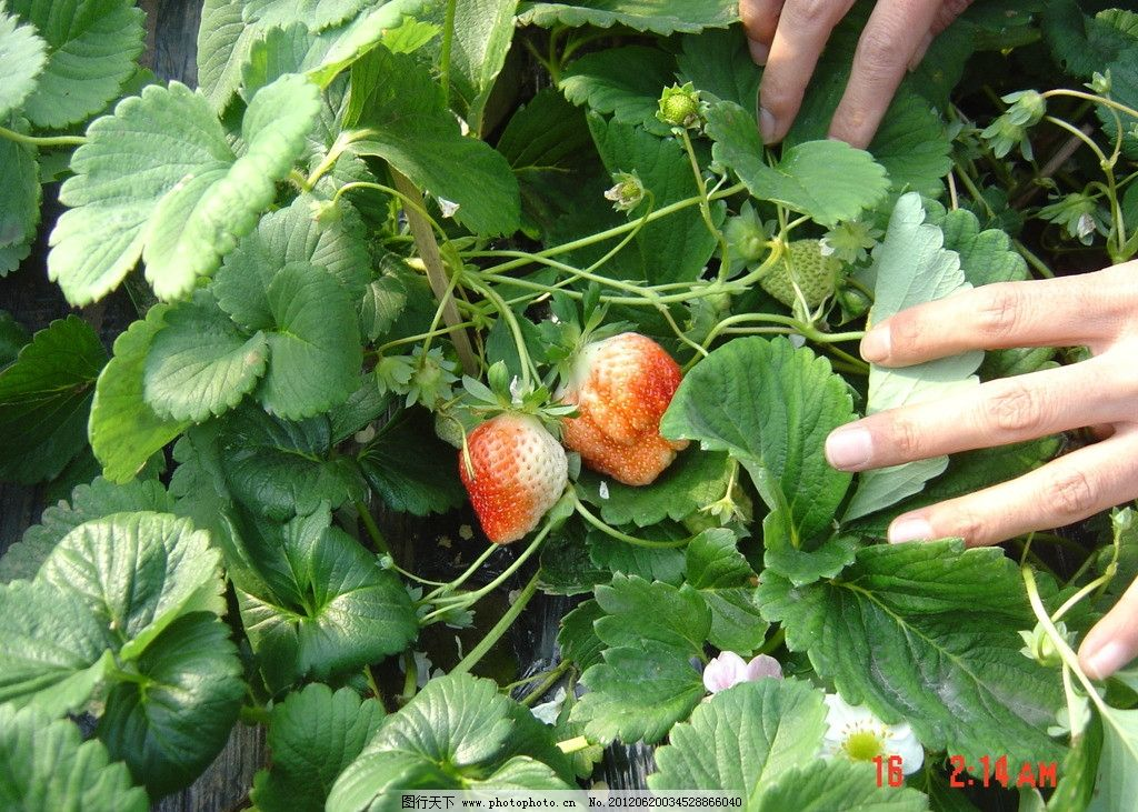 草莓的生长图片