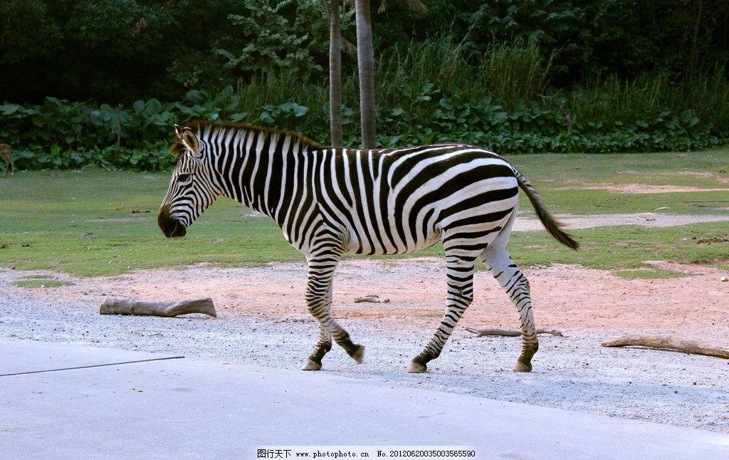 斑马 行走中的斑马 非洲动物 野生动物 生物世界 高清摄影 摄影 72dpi