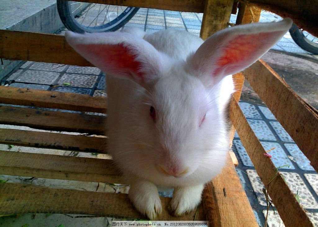 兔子 大白兔 小白兔 小兔子 白兔 白色 野生动物 生物世界 摄影 300