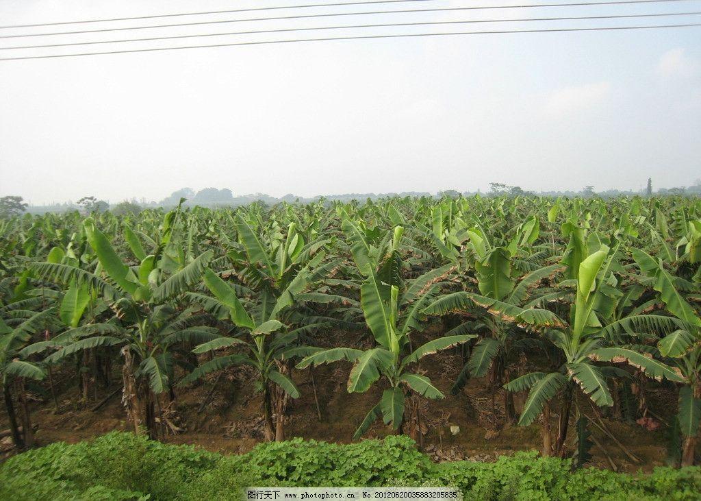 香蕉林 香蕉树 香蕉 砚州岛 肇庆 树木树叶 生物世界 摄影 180dpi jpg