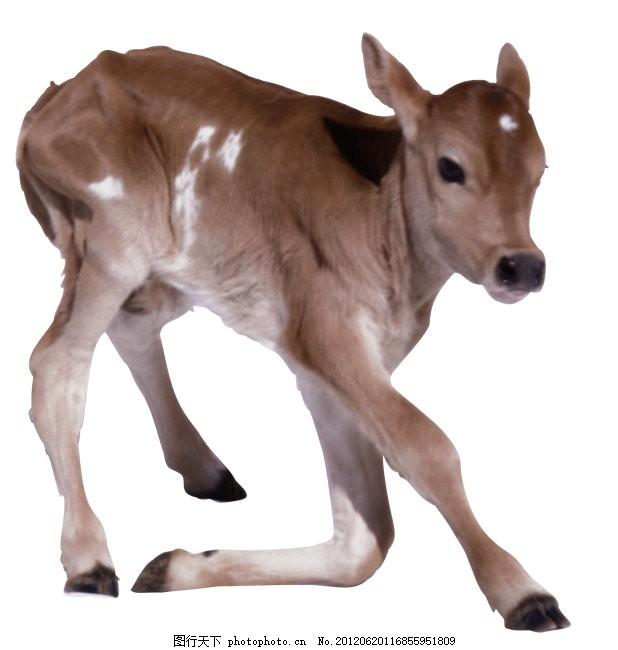 牛 家畜 牛 动物 图片