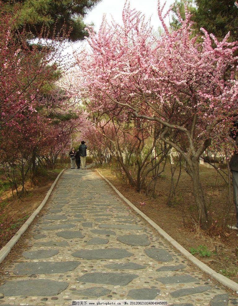 桃花小路 桃花 小路 花露 小道 石路 桃花林 自然风景 自然景观 摄影