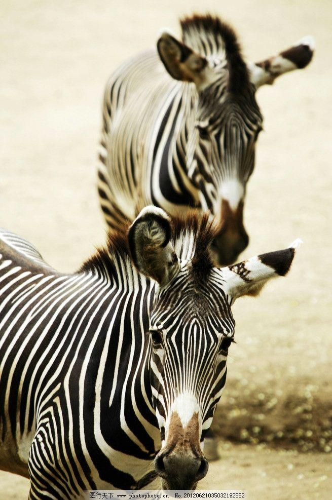 斑马 草原斑马 斑马纹 野生动物 黑白条纹 动物世界 生物世界 摄影