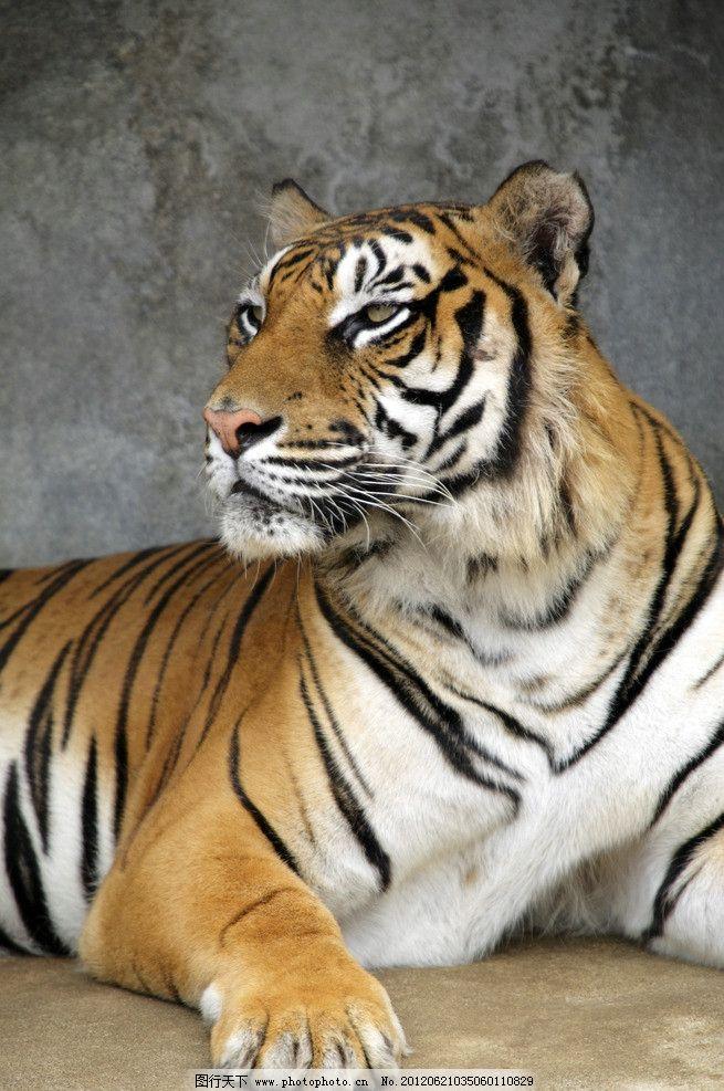 老虎 猛虎 野生动物 森林之王 虎虎生威 珍惜动物 动物世界 生物世界