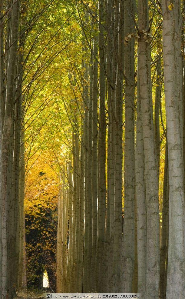 白桦树 杨树 树林 黄叶 秋天风景 自然景观 树木树叶 生物世界 摄影