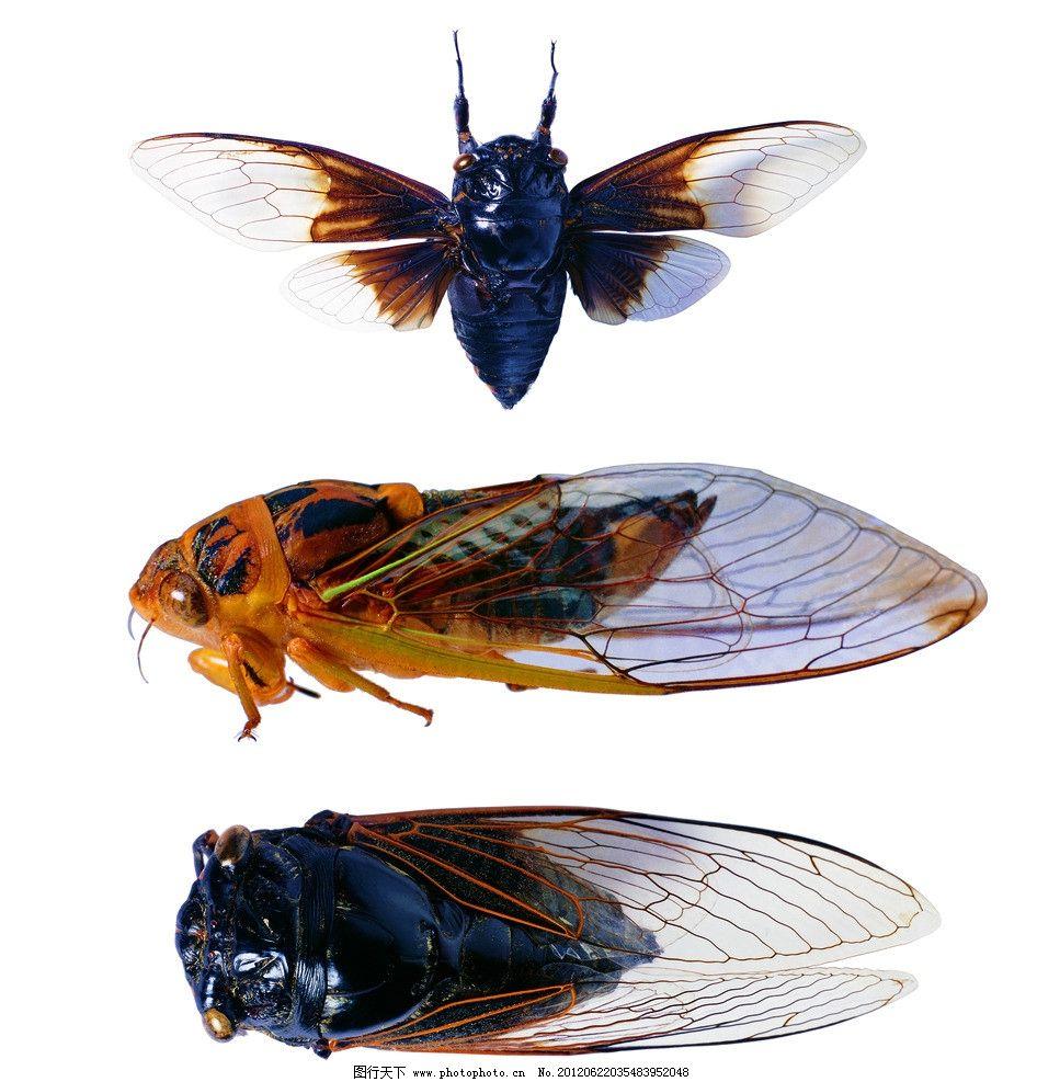 节肢动物 昆虫 蝉 翅膀_节肢动物 昆虫 蝉 翅膀