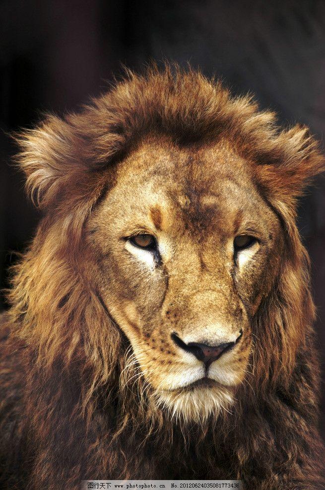 狮子 狮王 狮子头 非洲狮 猛狮 雄狮 野兽 狮子鬃毛 草原之王 动物