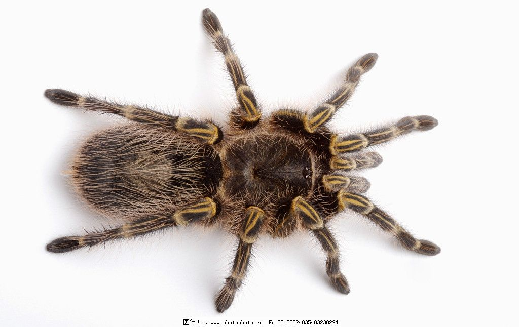 蜘蛛 棕色蜘蛛 蜘蛛玩具 大蜘蛛 毒蜘蛛 蜘蛛腿 节肢动物门 蛛形纲