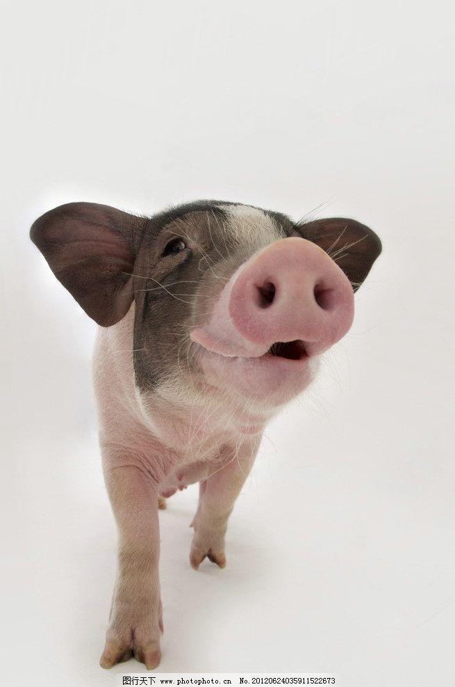 宠物猪 宠物小猪 猪 猪鼻子