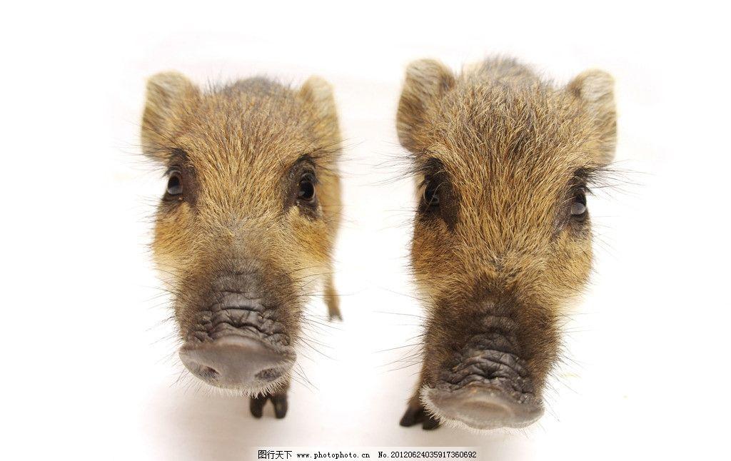 宠物小猪 猪 宠物猪 猪鼻子 可爱小猪 小灰猪 小猪仔 杂交猪 家禽家畜