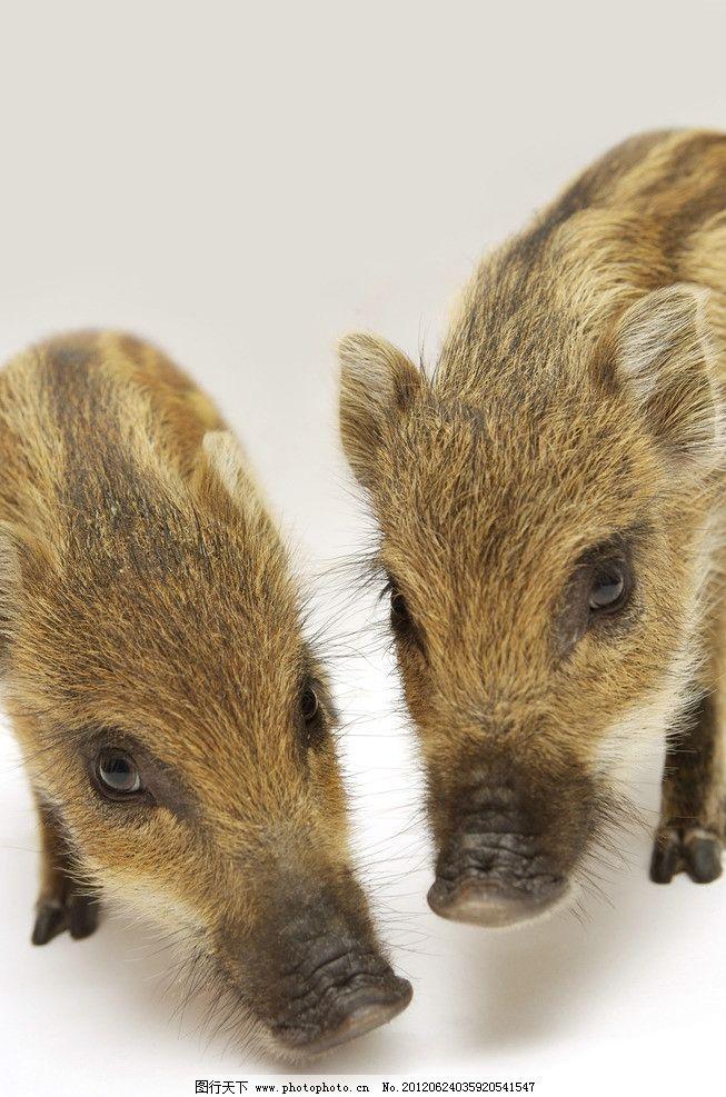宠物猪图片,宠物小猪 猪鼻子 可爱小猪 小灰猪 小猪仔
