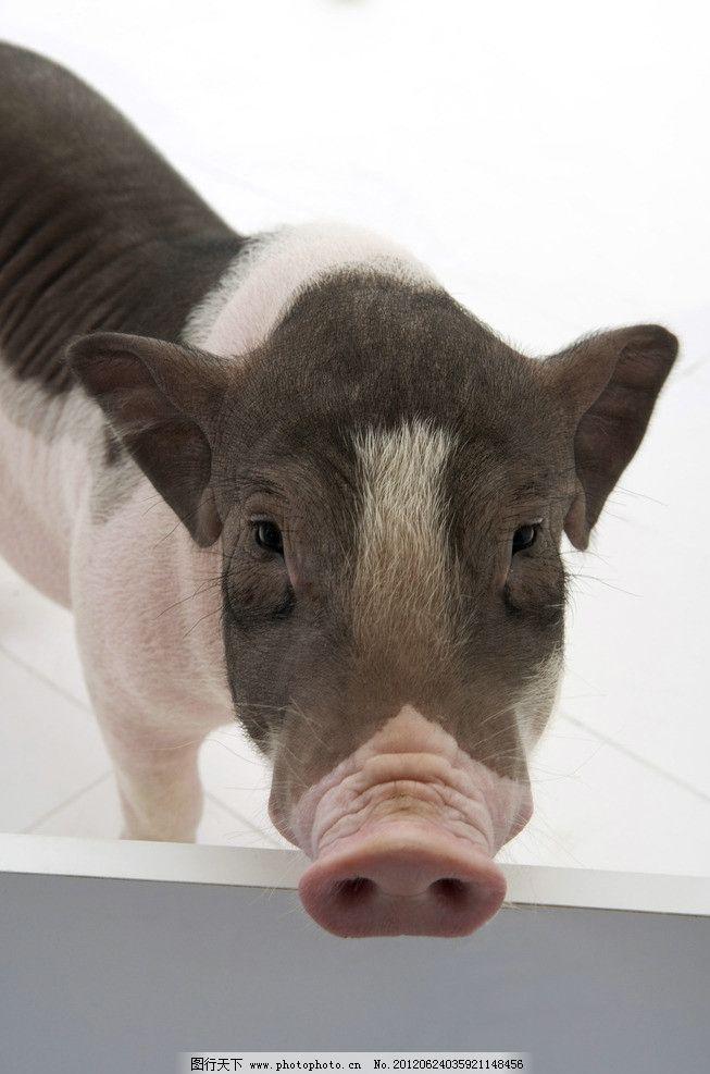 宠物小猪 猪 猪鼻子