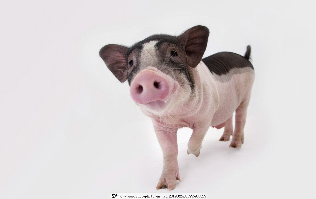 宠物猪图片,宠物小猪 猪鼻子 可爱小猪 小花猪 小猪仔