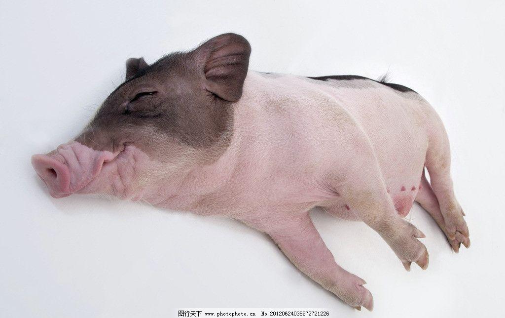 摄影全球动物之美 奇特的猪
