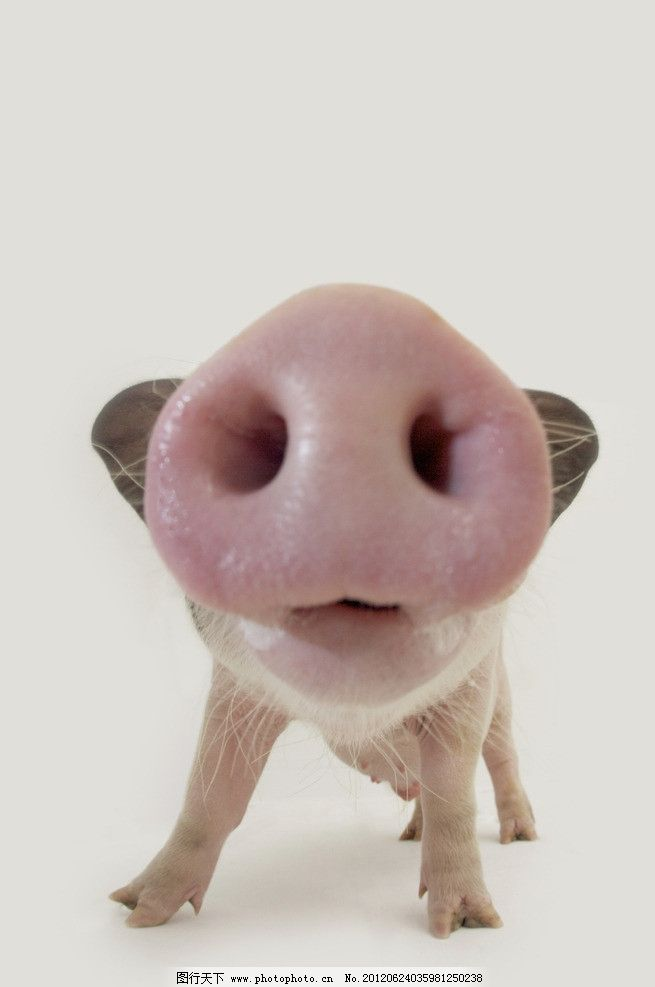 猪鼻子 宠物小猪 猪 宠物猪