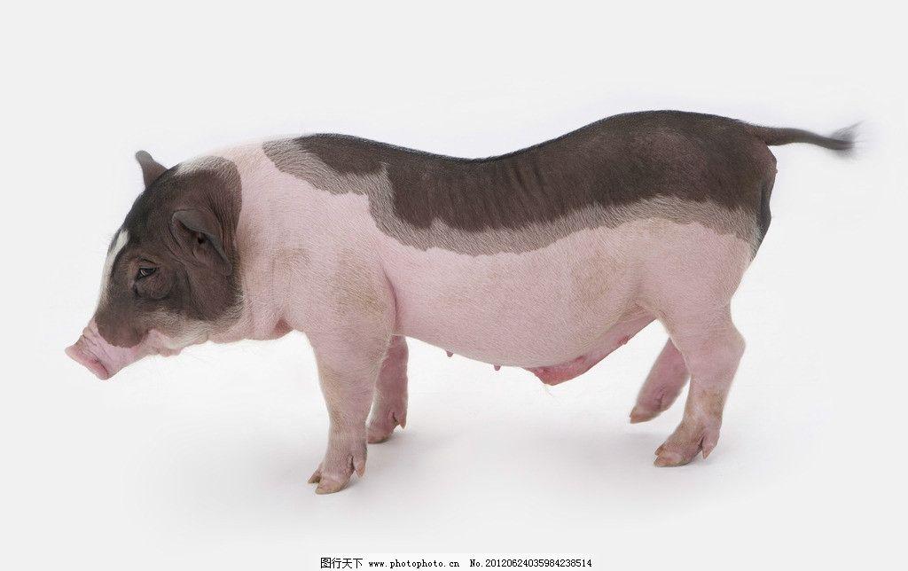 宠物猪 宠物小猪 猪 猪鼻子 可爱小猪 小花猪 小猪仔 杂交猪 小野猪